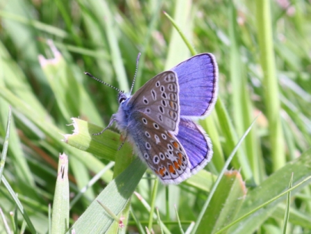 A very fresh male common blue - Bob hapman