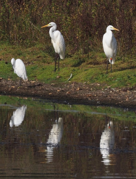 trio of egrets by christine whiffen