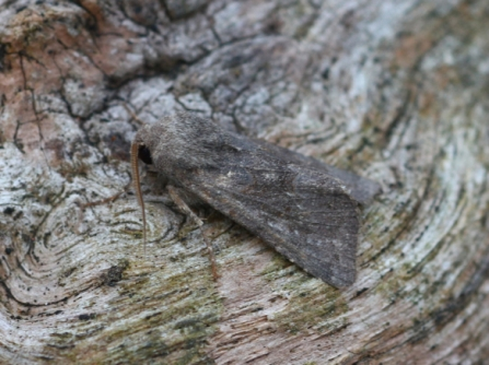 deep-brown dart