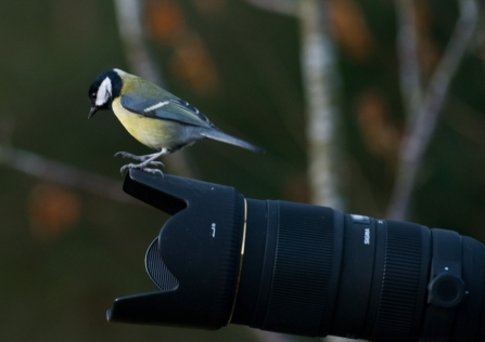 Great Tit on Camera © Bob Coyle