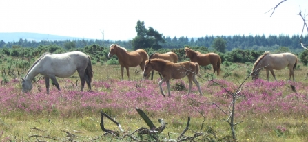 New Forest ponies by Clive Chatters