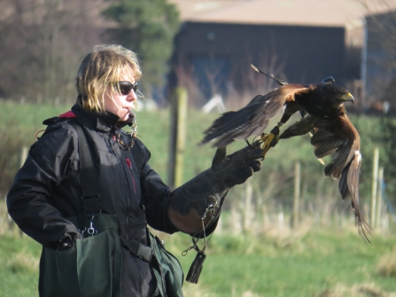 Flying Harris Hawk