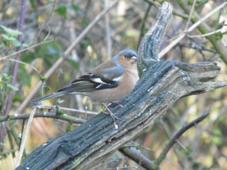 Young Naturalists chaffinch