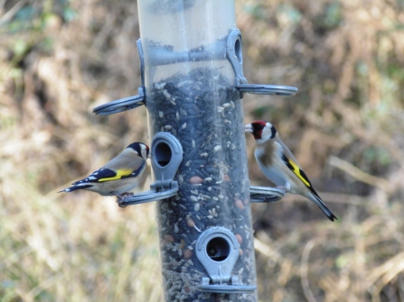 Young Naturalists goldfinch