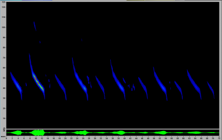 A screenshot from Sonobat software showing a frequency modulated Myotis bat call