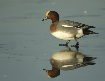 Wigeon male