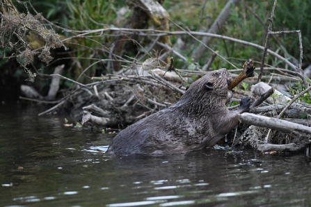 Beaver © David Parkyn/ Cornwall Wildlife Trust