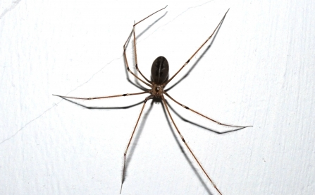 A male Daddy-long-legs spider