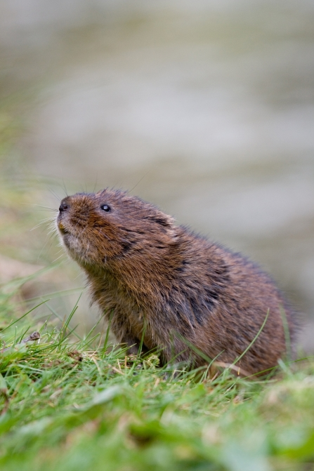 RS1310_Water_vole_sniffing_air_Tom_Marshall_compressed-lpr