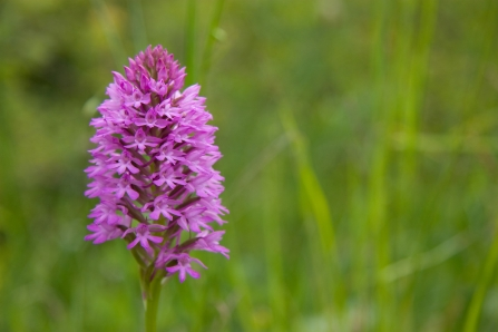 RS3129_Pyramidal Orchid 11, Orchid Family, David Kilbey-lpr