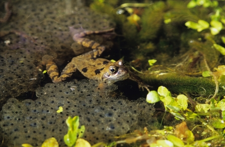 Frog swimming surrounded by frogspawn