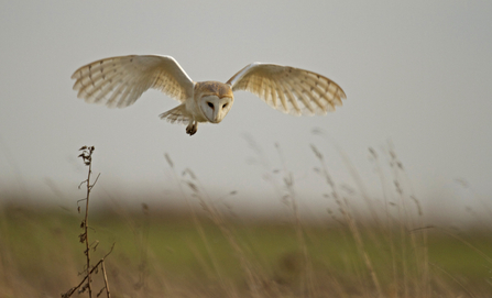Barn owl hunting (c) Russell Savory