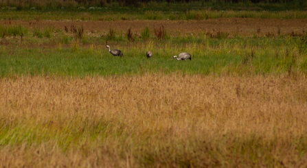 Lincolnshire Wildlife Trust crane family at Willow Tree Fen nature reserve (c) John Oliver