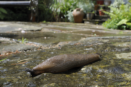 Great black slug (Arion ater) brown form, crawling over patio after rain, with house and garden bench in the background, Wiltshire, UK, July.