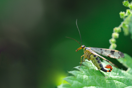 scorpion fly - Amy Lewis