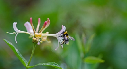 White-tailed bumblebee on honeysuckle
