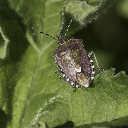 Hairy shield bug (Dolycoris baccarum) - Chris Lawrence