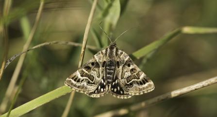 mother shipton moth - Janet Packham