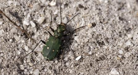 green tiger beetle - Ross Hoddinott/2020VISION