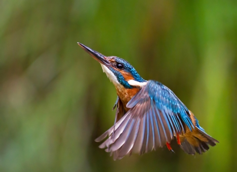 Kingfisher © Malcolm Brown