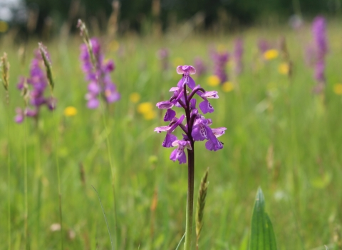 Green-winged orchids