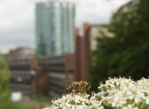 Urban bee © Paul Hobson