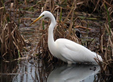 Walter the great white egret at Blashford Lakes