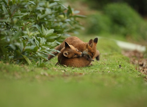 Fox cubs © Luke Massey/2020VISION