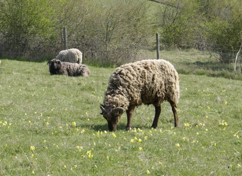 Sheep grazing at St Catherine's Hill nature reserve