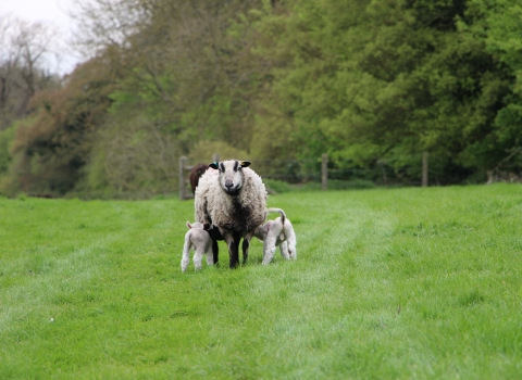 Ewe and lambs at Hockley Meadows Farm