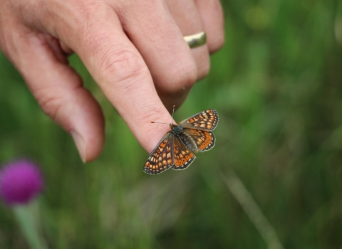 Releasing an adult marsh fritillary butterfly