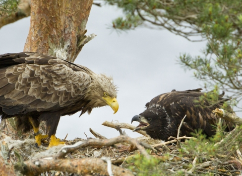 White-tailed eagle and chick in Wester Ross, Scotland