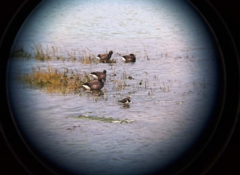 Brent geese and lapwing seen through binoculars