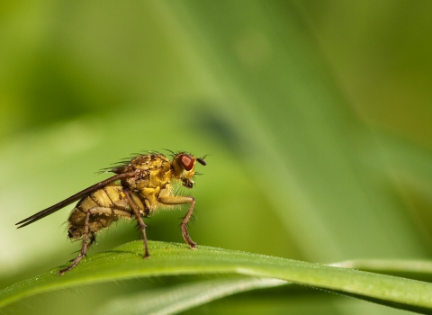 What have insects - yellow dung fly (Vaughn Matthews)